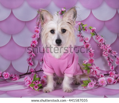 Chinese Crested on pink and white background