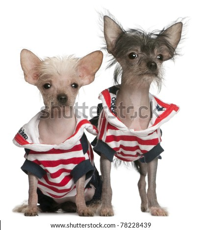 Chinese Crested puppy, 4 months old, and Chinese Crested Dog, 4 years old, dressed in red white and blue in front of white background - stock photo