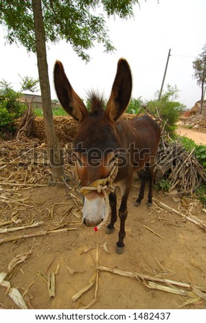 Chinese Donkey in north china rural country - stock photo