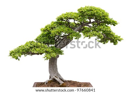 Chinese elm. Green bonsai tree isolated on white background. - stock photo