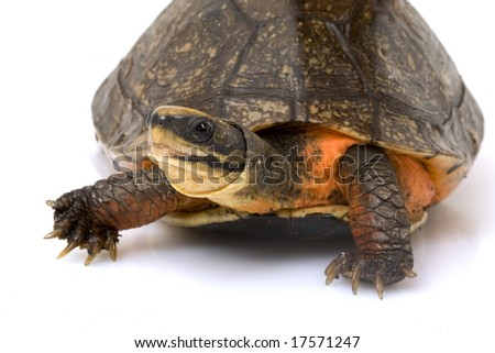 Chinese Golden Coin Box Turtle (Cuora flavomarginata) on white background.