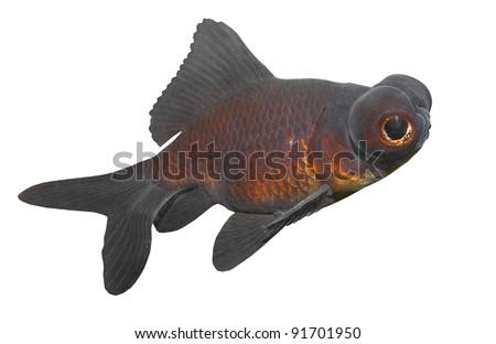 Chinese Goldfish Black moor (Carassius auratus), is a telescope-eyed variety of fancy goldfish. - stock photo