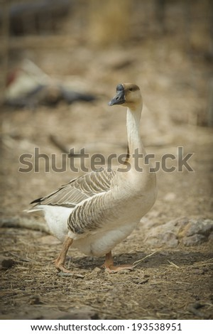 Chinese goose. - stock photo