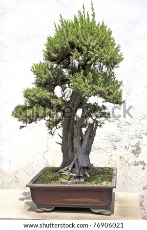 Chinese green bonsai tree in a garden - stock photo