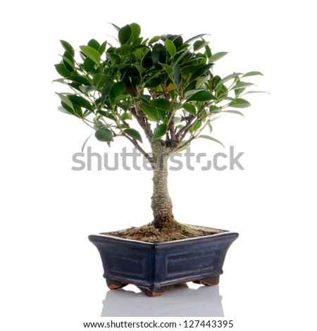 Chinese green bonsai tree Isolated on white background - stock photo