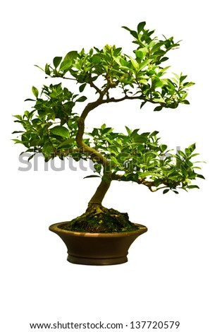Chinese green bonsai tree, isolated on white background.