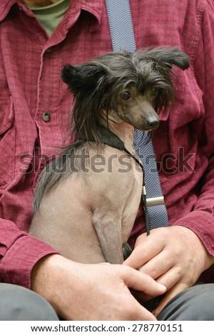 Chinese hairless crested dog - stock photo