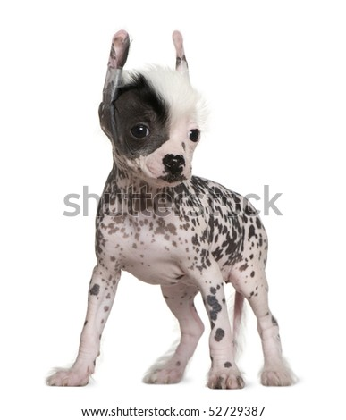 Chinese hairless crested dog, 6 weeks old, standing in front of white background - stock photo