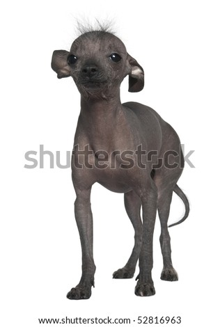 Chinese hairless crested dog, 5 years old, standing in front of white background - stock photo