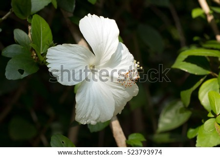 Chinese hibiscus pure white flower blooming hibiscus stock photo chinese hibiscus pure white flower bloominghibiscus rosa sinensis mightylinksfo