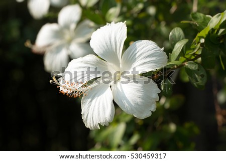 Chinese hibiscus pure white flower bloominghibiscus stock photo chinese hibiscus pure white flower bloominghibiscus rosa sinensis mightylinksfo