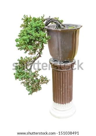 Chinese juniper as bonsai tree - stock photo