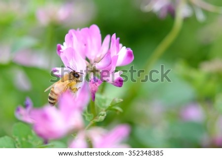 chinese milk vetch (astragalus sinicus) & honey bee