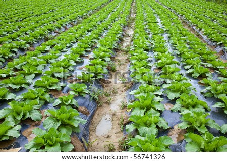 Chinese mustard with plastic film protected in land,The plastic film used vegetable insulation and prevent soil erosion - stock photo