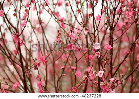 Chinese new year decoration flower-peach blossom - stock photo