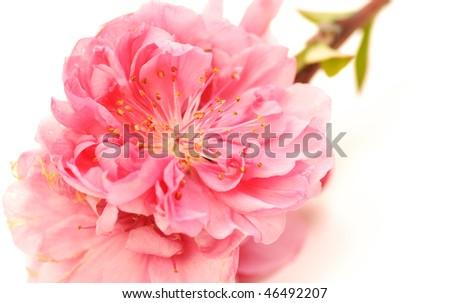 Chinese New Year Flower Stock Photo 46492204 - Shutterstock