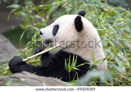 chinese panda bear in tree eating bamboo male juvenile, china - stock photo