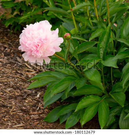 Chinese peony flower (Paeonia lactiflora) - stock photo