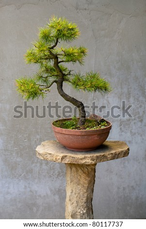 Chinese pine bonsai tree - stock photo