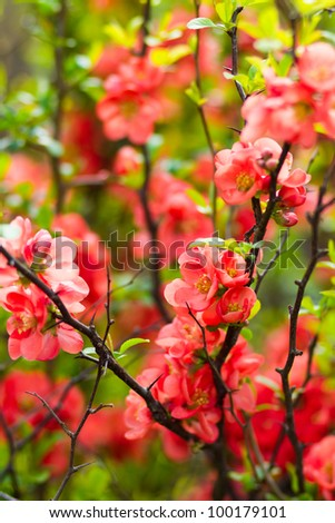 chinese quince flowers (chaenomeles speciosa) - stock photo