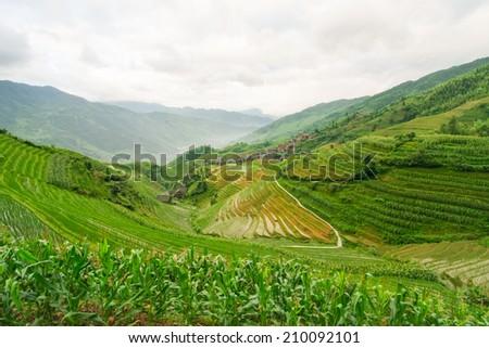 Chinese rice fields - stock photo