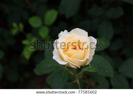 Chinese rose in garden