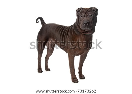 Chinese Shar-Pei isolated on white