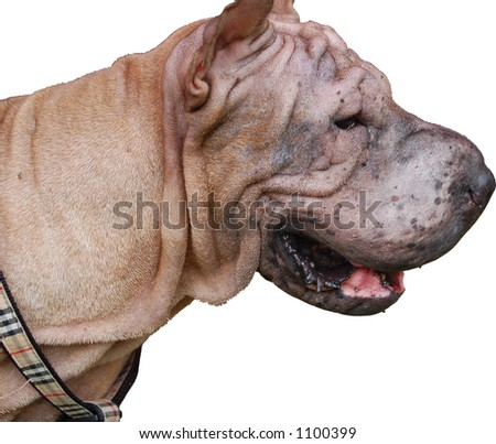 Chinese Shar-Pei on white background (more animal photos in gallery)