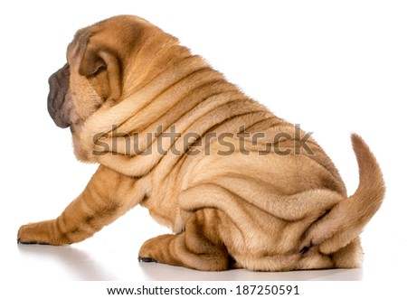 chinese shar pei puppy isolated on white background - 4 months old