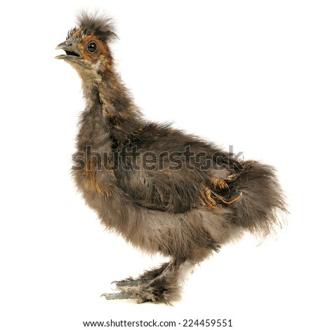 Chinese Silkie Baby Chicken with Open Beak Isolated on White Background - stock photo