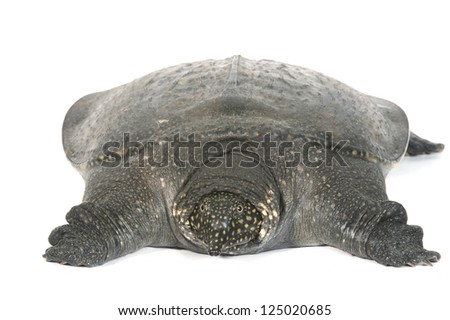Chinese Soft Shell Turtle isolated on white background. - stock photo