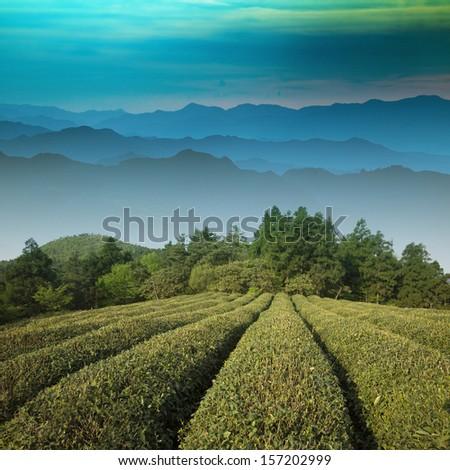 Chinese tea - stock photo