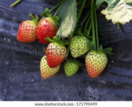 Chinese traditional agriculture--farmland,strawberry - stock photo