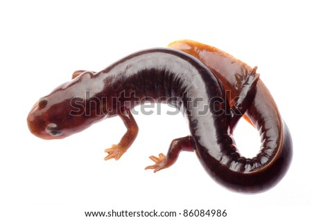 Chinese tsitou salamander newt isolated on white - stock photo