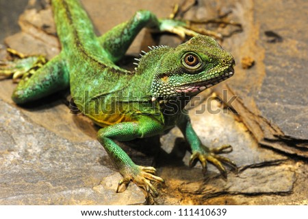 Chinese water dragon (Physignathus cocincinus) is a monotypic agamid lizard native to East and Southeast Asia. It is also known as Asian Water Dragon, Thai Water Dragon, and Green Water Dragon.