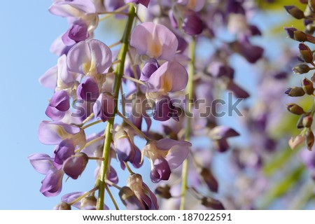 Chinese Wisteria,Wisteria,Blauregen - stock photo