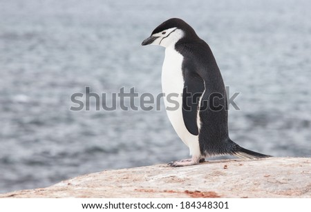 Chinstrap penguin in Antarctica  - stock photo