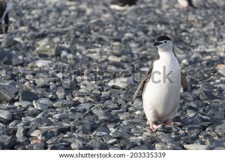 Chinstrap penguin on rocks, Half Moon Bay, Antarctica - stock photo