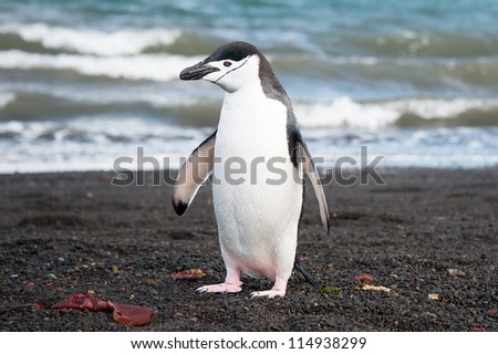 Chinstrap penguin on the Deception island, Antarctica - stock photo