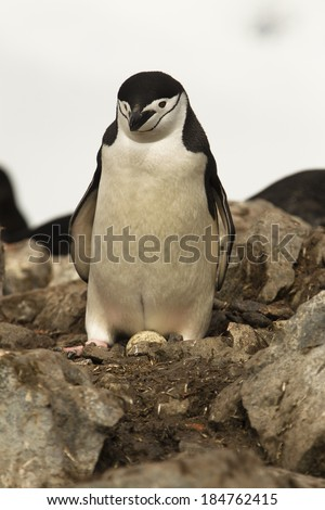 Chinstrap Penguin, Pygoscelis antarctica, at nest, turning egg, Antarctica - stock photo