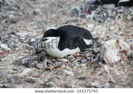 Chinstrap penguin (Pygoscelis antarctica) in Antarctica - stock photo