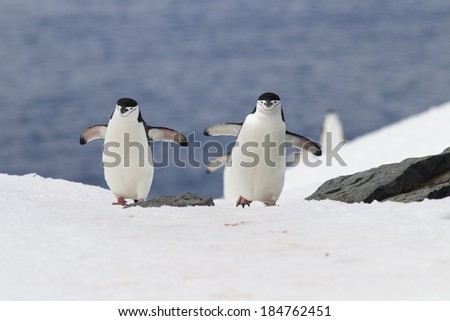 Chinstrap Penguin, Pygoscelis antarctica, running on ice, Antarctica. - stock photo