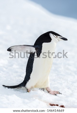 Chinstrap penguin slides down from a hill