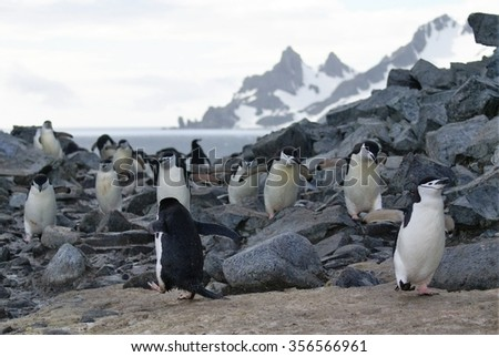 Chinstrap penguins climbing over rocks with a snow covered mountain in the distance