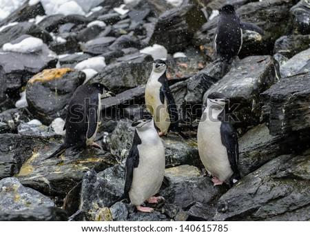 Chinstrap penguins of the Elephant Island, South Pole - stock photo