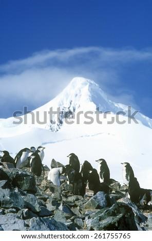 Chinstrap penguins (Pygoscelis antarctica) on Half Moon Island, Bransfield Strait, Antarctica - stock photo