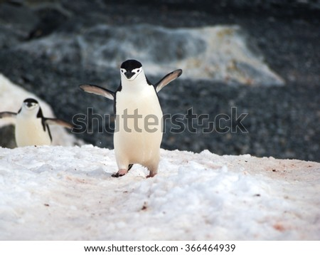 Chinstrap Penguins walking around on Halfmoon Island in Antarctica cooling their blood through their wings - stock photo