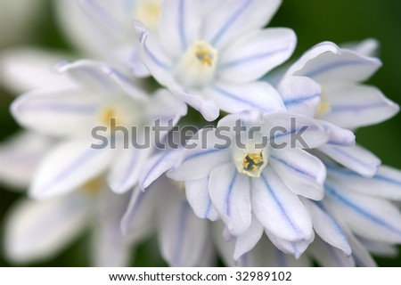 Chionodoxa - Glories of the Snow Macro Horizontal - stock photo