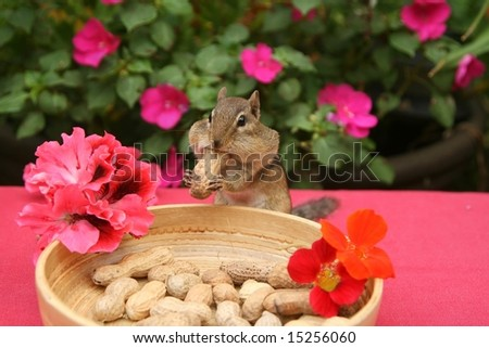 chipmunk at his dinner table with a very large nut - stock photo