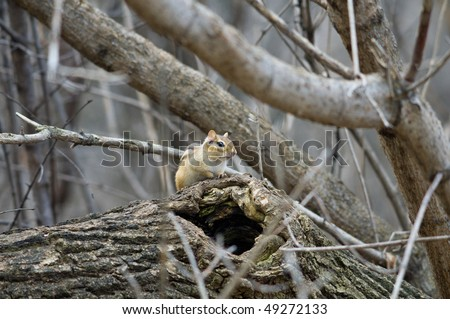Chipmunk by his nesting hole amongst trees - stock photo